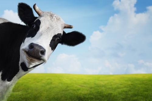 mliečna žľaza, mlieko, krava, imunita, priepustnosť čreva