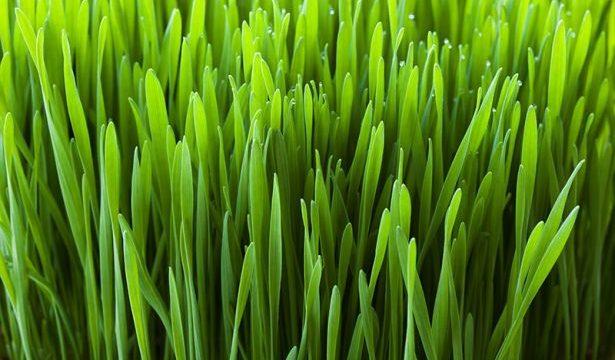 Wigmore, pšeničná, jačmenná tráva, lístky, chlorofyl