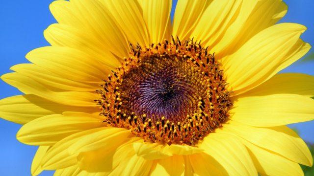 slnečnica, slnečnicový olej, ľanový olej, kukuričný olej, sójový olej, ateroskleróza, trombóza, tekvicové semená, slnečnicové semená